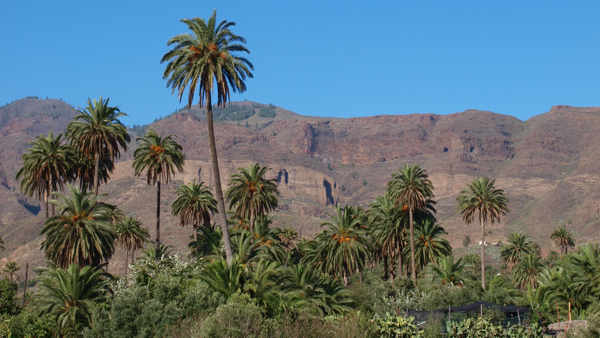Palmen bei Santa Lucía