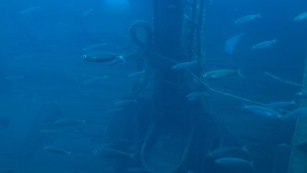 Fischies vor einem Schiffswrack